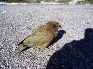 Native parrot to New Zealand the Kea
