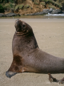 Sea lion at Catlins