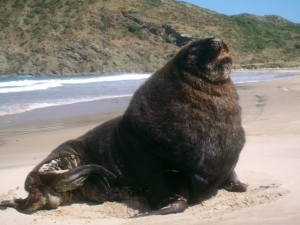 Adult Sea Lion Catlins
