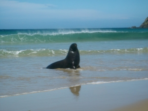 Young Sea Lion Catlins
