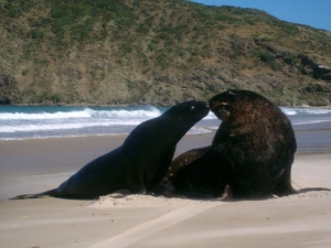 Young Sea Lion and Adult Catlins