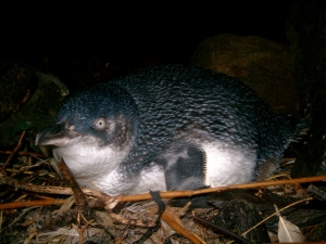 Little Blue Penguin nesting